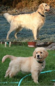 Allometry in a Golden Retriever
